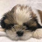 シーズー ブリーダー 子犬販売の専門店 AngelWan