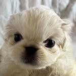 ペキニーズ ブリーダー 子犬販売の専門店 AngelWan